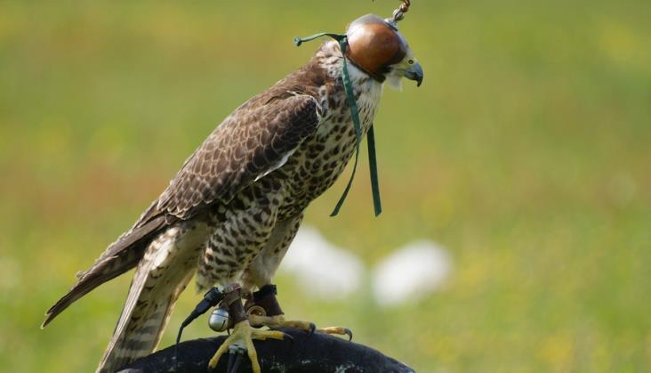 PKP Intercity zatrudni... ptaki drapieżne