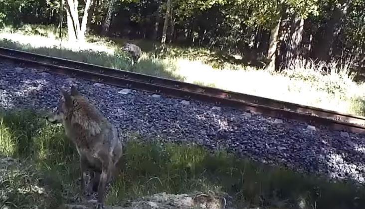 PKP PLK: Zwierzęta w pobliżu Rail Baltiki są bezpieczne